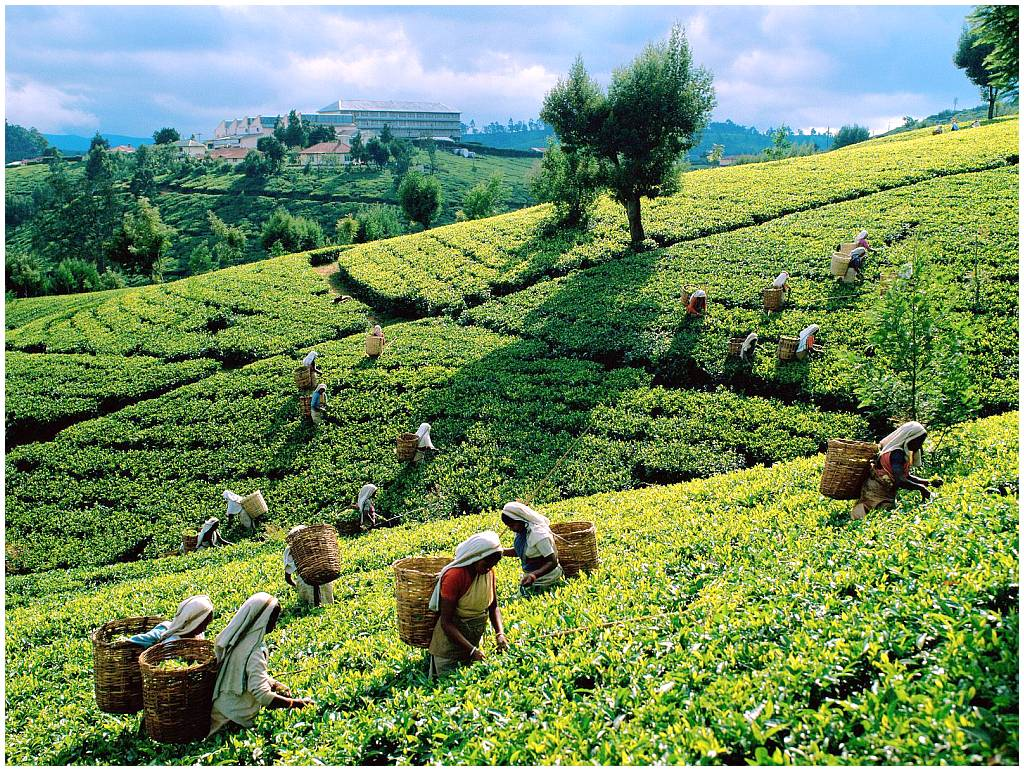 sri_lanka_ceylon_tea_1024x771